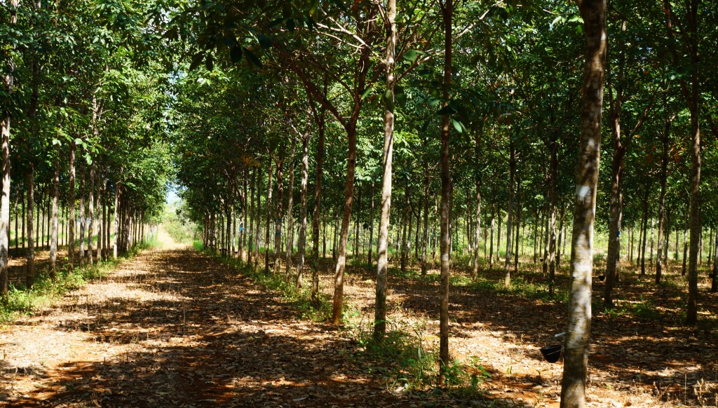 Eine Kautschukplantage der PANARUBBER von Timberfarm